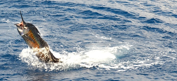 Costa Rica Sailfish Charter
