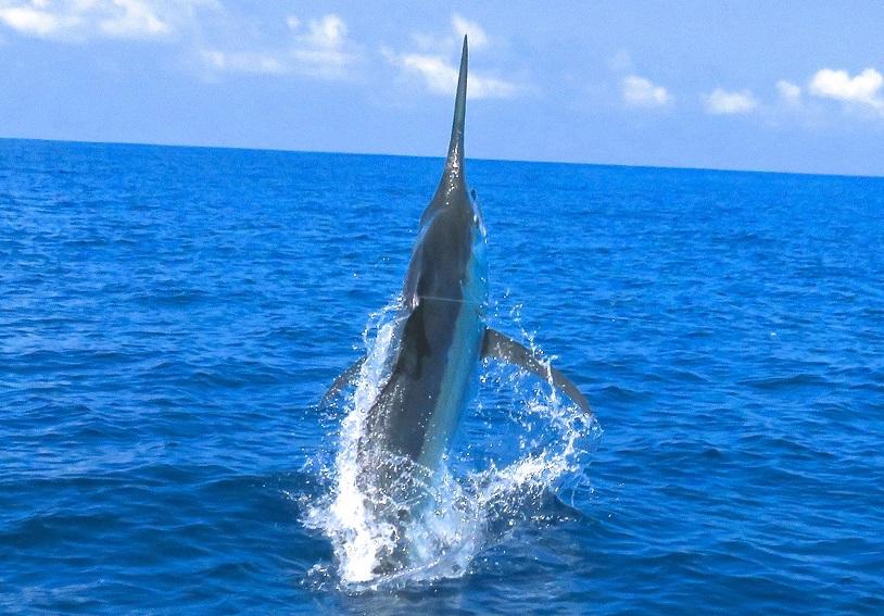 Quepos Fishing Black Marlin