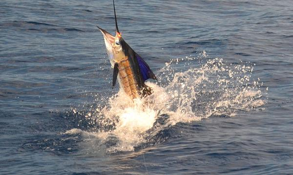 Costa Rica Flying Sailfish