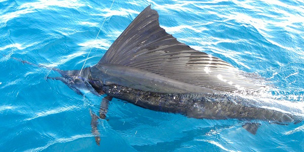 Quepos BlueWater Sailfish