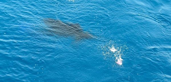 Quepos fly Sailfish Fishing
