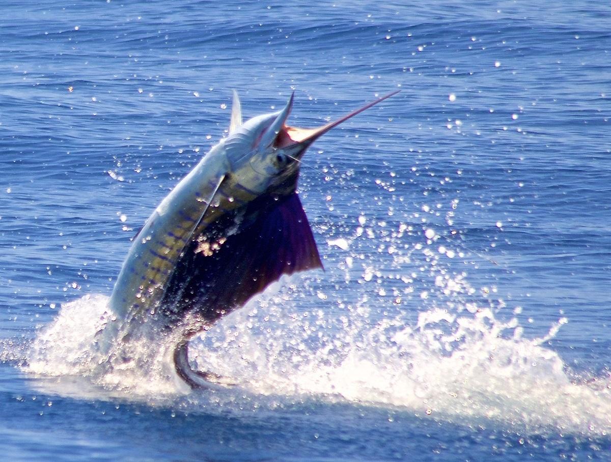 Costa Rica Fishing Quepos Sailfish Marlin Billfish