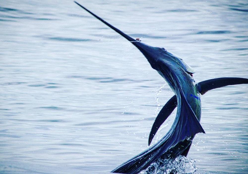 pacific sailfish Quepos Costa Rica