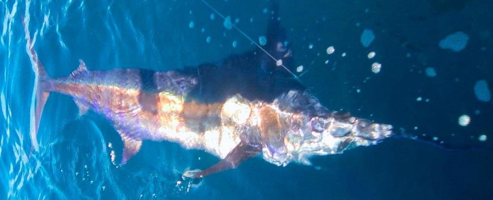 Quepos underwater Fish Mahi