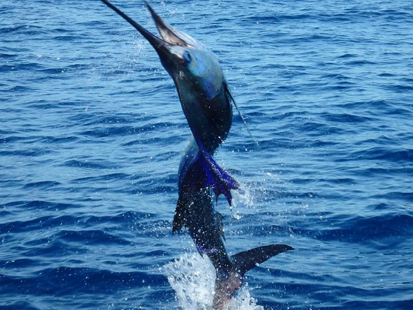 Quepos Pacific Sailfish Fish