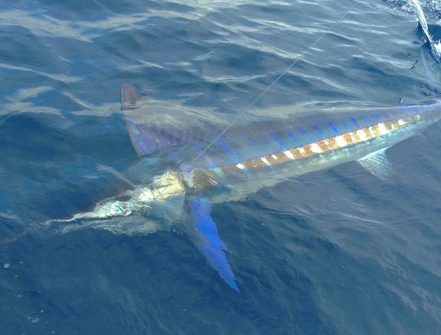 Quepos Fishing  Blue Marlin Costa Rica