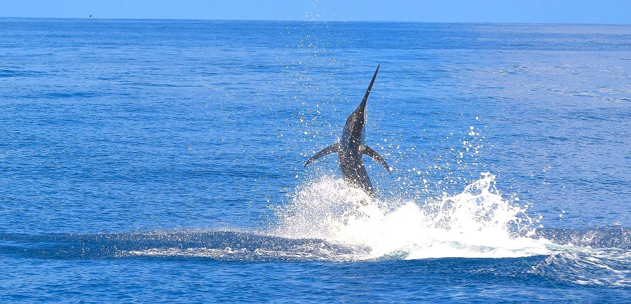 Quepos Black Marlin Fishing