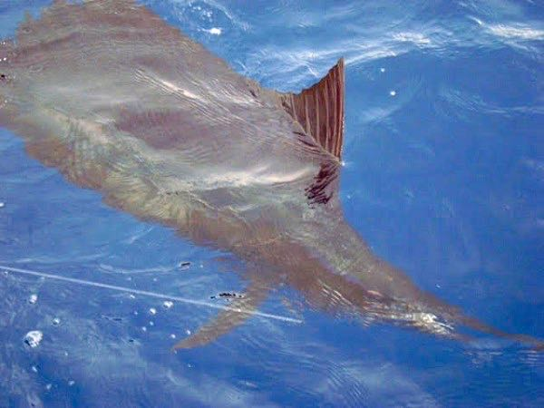 Quepos Costa Rica Sailfish