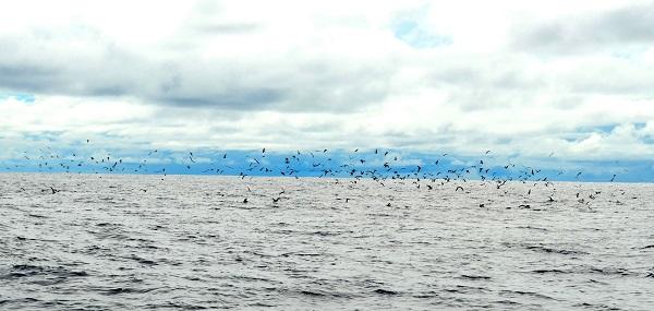 Quepos Fishing Birds