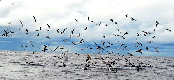 Quepos Fishing frigate Birds