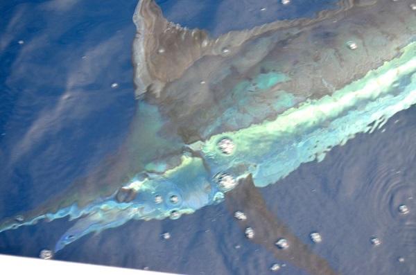 Quepos Costa Rica Marlin