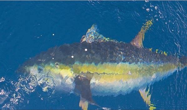 Quepos Yellowfin Tuna charter boat