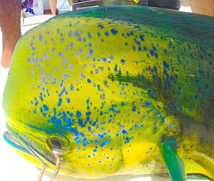 Costa Rica Fishing Dorado
