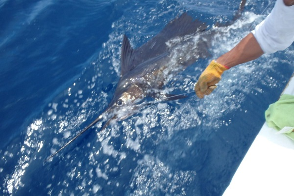Quepos Fishing Sailfish