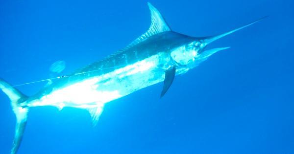 Black Marlin Quepos Costa Rica